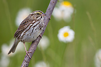 Savannah Sparrow (Passerculus sandwichensis mediogriseus), Eastern subspecies, on it's breeding territory with daisies in the backgraound in a protected grassland along Cowperthwaite Road in Bedminster, New Jersey.