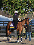 November 03 2020: Dunbar Road, trained by trainer Chad C. Brown, exercises in preparation for the Breeders' Cup Distaff at Keeneland Racetrack in Lexington, Kentucky on November 3, 2020.