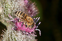 Honigbiene, Honig-Biene, Biene, Apis mellifera, Apis mellifica, Blütenbesuch auf Klette, Nektarsuche, Blütenbestäubung, honey bee, hive bee