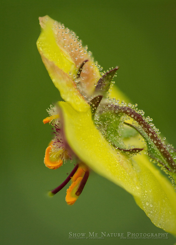 Moth Mullein wildflower, covered with dew. Captured along a roadway near a Missouri prairie.