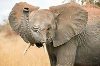 Young African elephant (Loxodonta africana) trumpeting, Serengeti, Tanzania, Africa