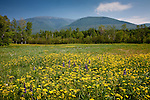 Wild Parsnip and lupines bloom in the White Mountain National Forest at Jefferson Notch in Randolph, NH, USA
