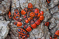 Gemeine Feuerwanze, Adulte und Larve, Larven, Nymphe, Nymphen, Feuer-Wanze, Pyrrhocoris apterus, firebug, larva, larvae, nymph, nymphs