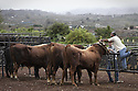 03/02/2013. Santa Cruz de Tenerife.Canary Islads.Spain. Drag cattle (sport canary)<br />
