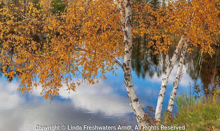 Autumn birch tree at the edge of Loretta Lake in northern Wisconsin.