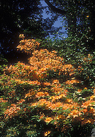 Rhooddendron Gibraltar Exbury Azalea in orange spring flowers