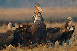 A Greater Adjutant joins Himalayan Griffon Vultures scavenging a cow carcass outside of Dadara village. The Greater Adjutant is naturally a scavenger but relies on vultures to open and tear apart carcases to feed. Dadara, Assam, India. February.
