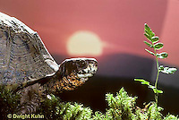 1R07-083z  Eastern Box Turtle - sitting with sun in background - Terrapene carolina
