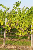 Vine with En Arcure training pinot gris vineyard domaine gerard neumeyer alsace france