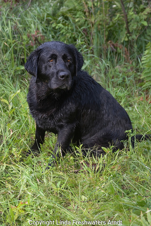 Black Labrador retriever (AKC) returning from a swim in the water.  Summer. Winter, WI.