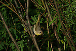 Common Yellowthroat - Female