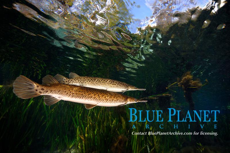 Florida gar, Lepisosteus platyrhincus, Silver Glen springs, Florida