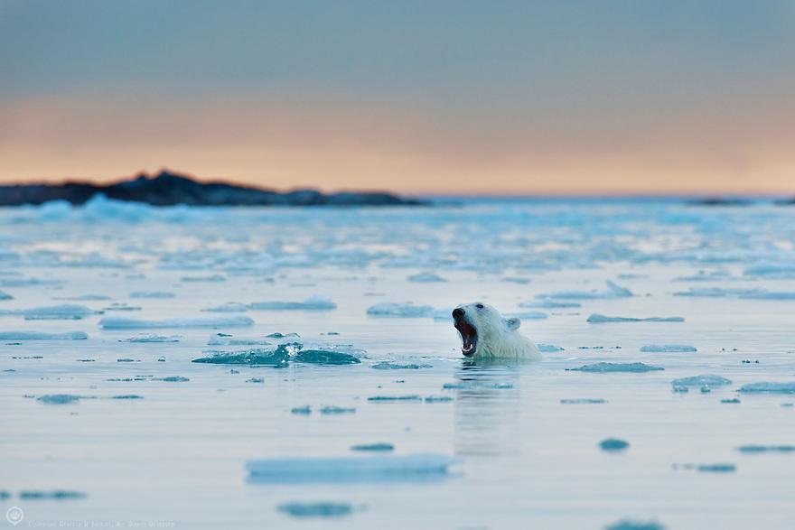 Polar bear yawns while enjoying a midnight swim in Smeerenburgfjorden, Spitsbergen, Svalbard.