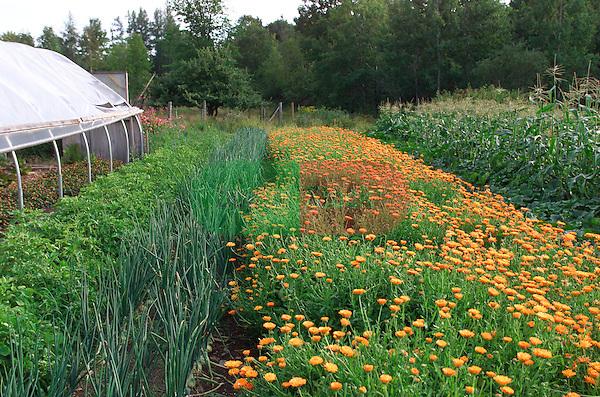 organic vegetables and herbs (Calendula officinalis) growing on organic farm