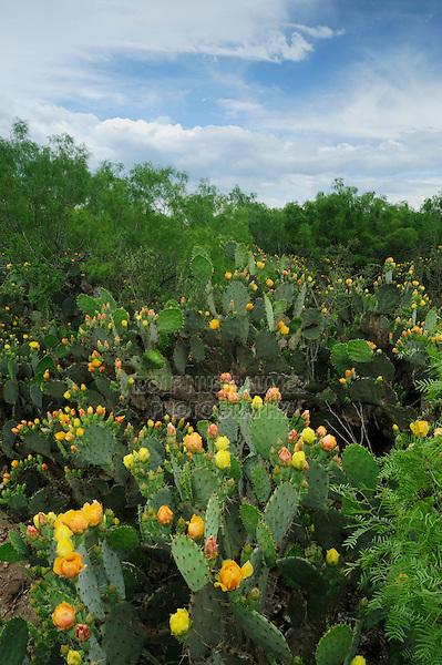 Texas Prickly Pear Cactus (Opuntia engelmanni), plant blooming, Laredo, Webb County, South Texas, USA