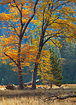 Yosemite National Park, California<br /> Black oak (Quercus kelloggii) with fall colors in El Capitan meadow, Yosemite Valley