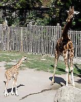 Il cucciolo di giraffa nato lo scorso 28 settembre, a sinistra, vicino al padre Rocco, al Bioparco di Roma, 9 ottobre 2009..A male baby giraffe born on 28 september, left, stands on close to its father Rocco at Rome's Bioparco, 9 october 2009..UPDATE IMAGES PRESS/Riccardo De Luca