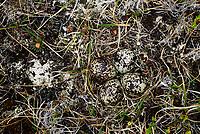 Pacific Golden-Plover (Pluvialis fulva) net and eggs. Yukon Delta National Wildlife Refuge, Alaska. June.