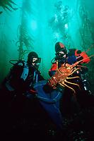 scuba divers with giant lobster, Panulirus interruptus, California, USA, Pacific Ocean