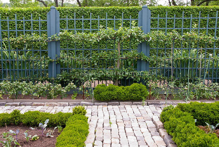 Trellis fruit apple trees against fence with privacy hedge of Buxus and small Boxwood shrubs outlining vegetable beds, stone pathway walk