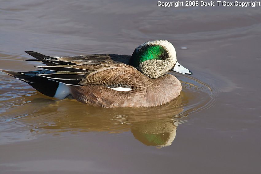 American Widgeon, Arizona, USA