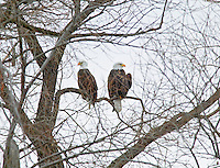 Bald Eagles in tree . Lower Klamath Fall National Wildlife Refuge. California