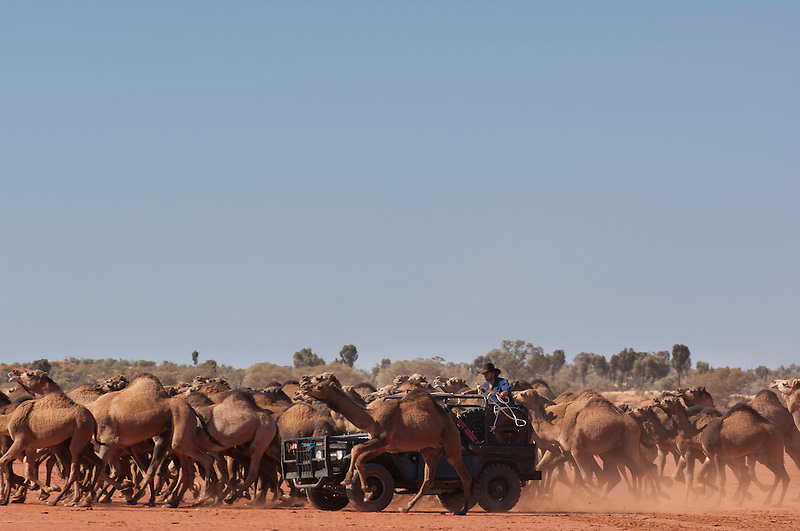 Wild Camels in the Australian desert being mustered and caught by hand, using 4wd,  Central Australia, Northern Territory, Australia.