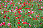 Gillespie Couty Texas Hill Country:Red poppies blooming at Wildseed Farms near Fredericksburg
