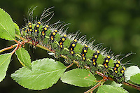 Kleines Nachtpfauenauge, Raupe, Saturnia pavonia, Eudia pavonia, Pavonia pavonia, Small Emperor Moth, caterpillar, Le Petit paon de nuit, Saturniidae