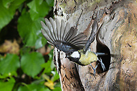 Kohlmeise, Abflug aus Nest, Nesthöhle, Nisthöhle, Baumhöhle, Bruthöhle, Flug, Flugbild, fliegend, Kohl-Meise, Meise, Meisen, Parus major, Great tit, tit, tits, flight, flying, breeding burrow, La Mésange charbonnière