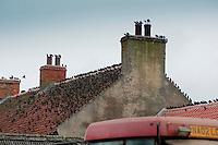 Starlings ,Sturnus vulgaris, on a farmhouse roof, Yorkshire.