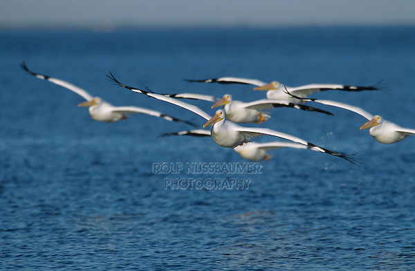 American White Pelican, Pelecanus erythrorhynchos, group in flight, Rockport, Texas, USA