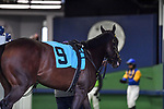 February 27, 2021:  Kimari #9, in the saddling area before the Spring Fever Stakes at Oaklawn Park in Hot Springs, Arkansas. Ted McClenning/Eclipse Sportswire/CSM