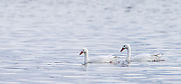 One of the larger aquatic birds in Patagonia is the Coscoroba swan.