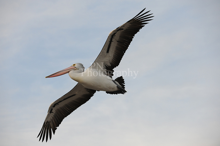 The beauty in flight of a Kangaroo Island South Australian Pelican this photo was taken at the Kingscote jetty such a amazing bird in flight