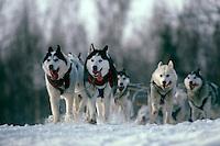 Sled dogs on Iditarod trail Alaska