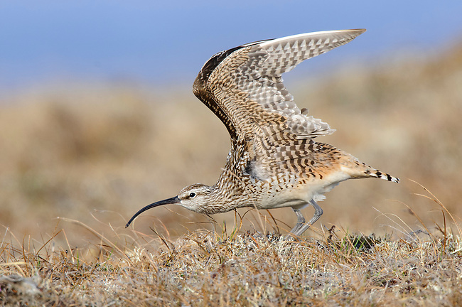 Adult Bristle-thighed Curlew (Numenius tahitiensis) wing stretching on its Alaskan breeding grounds. Seward Peninsula, Alaska. June.