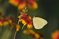 Lyside Sulphur (Kricogonia lyside), adult feeding on Indian Blanket, Fire Wheel (Gaillardia pulchella), Texas, USA