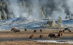 Yellowstone National Park, WY/MT:<br /> Cold winter morning with steaming thremals and bison herd in the Upper Geyser Basin