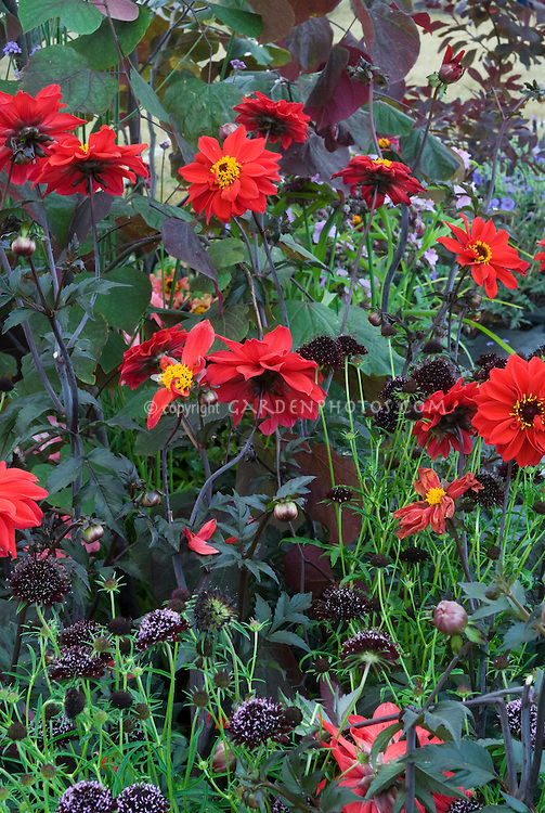 Black Plants: Dahlia Bishop of Llandaff, Scabiosa atropurpurea Chile Black, a fragrant annual flower for the scented garden, creating a red and black color theme design
