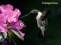 HU11-008x  Ruby-throated Hummingbird - male drinking nectar from rhododendron flower as it hovers in air -  Archilochus colubris