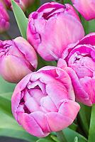 Double Late Tulip Blue Diamond