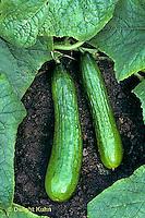 HS36-009f  Cucumber - Sweet Alphee variety