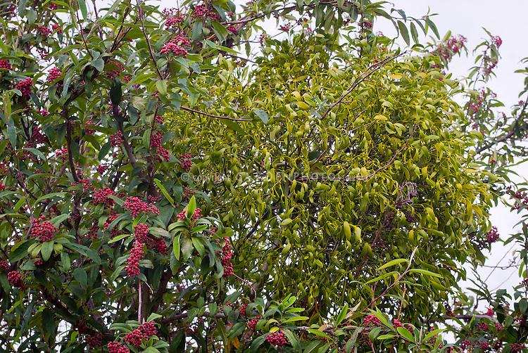 Viscum album mistletoe in tree with Cotoneaster frigidus 'Cornubia' Cornubia