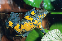 Gelbbauchunke, Gelbbauch-Unke, Bergunke, Unke, Unken, Bombina variegata, yellow-bellied toad, yellowbelly toad, variegated fire-toad