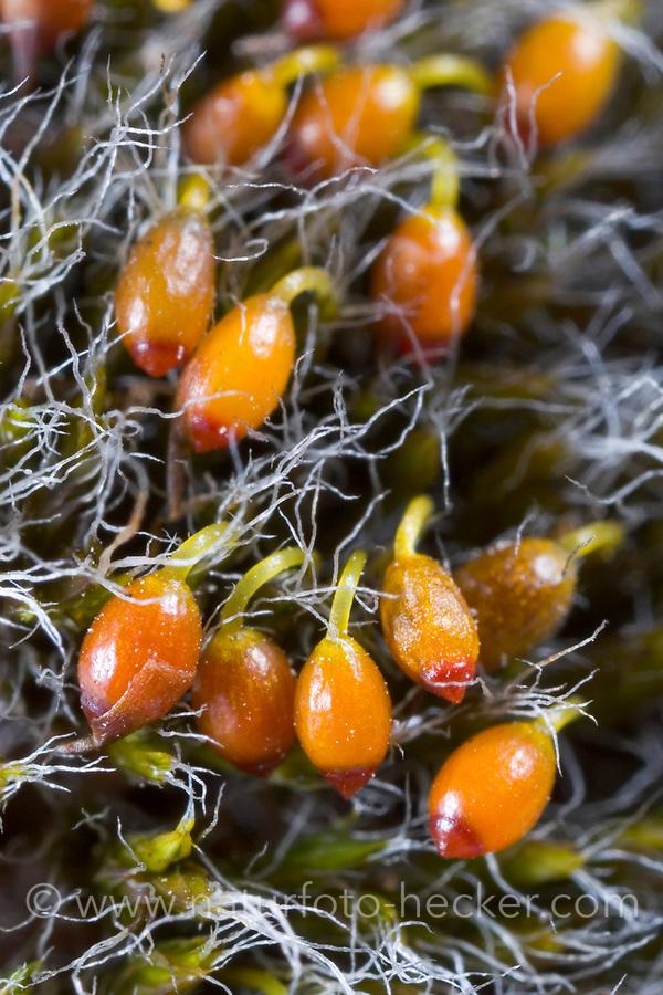 Polster-Kissenmoos, Gewöhnliches Kissenmoos, Grimmia pulvinata, grey-cushioned grimmia, pulvinate dry rock moss