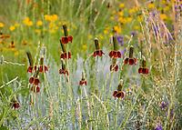 Ratibida columnifera, Mexican Hat red-maroon form flowering perennial in Colorado meadow garden