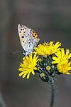 american copper butterfly drinking nector from yellow flower, side view, concord, new hampshire, vertical