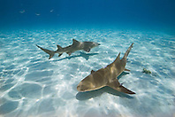 Lemon Sharks, Negaprion brevirostris, with sharksuckers, Echeneis naucrates, West End, Grand Bahama, Bahamas, Atlantic Ocean.
