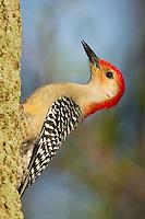 Red-bellied Woodpecker (Melanerpes carolinus).